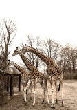 Group of giraffes in the zoo. Dresden, February 2017 Stock Images