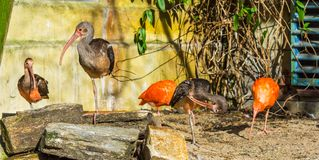 Group of glossy ibises together, tropical birds from Eurasia and Africa stock photo