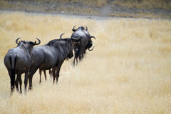 Group of Gnu Antelopes Royalty Free Stock Photo