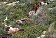 Group of goat animals Royalty Free Stock Image