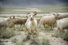 Group of goat field, Padum, Zanskar vally Royalty Free Stock Photography