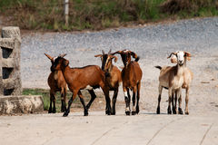 Group of goats Royalty Free Stock Photo