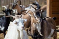 Group goats Capra hircus. Animal group Stock Photos