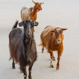 Group of goats Stock Photos