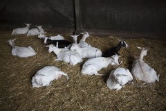 Group of goats lies in stable on straw Royalty Free Stock Images