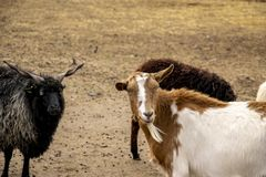 Group of goats looking to the camera. royalty free stock images