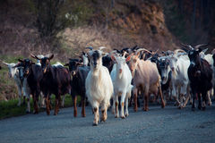 Group of goats. Group of white i black goats Stock Image