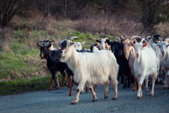 Group of goats. Group of white i black goats Stock Images