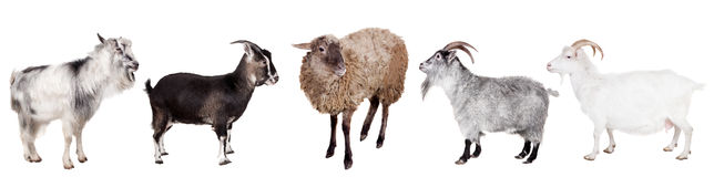 Group of goats on the white Royalty Free Stock Photos