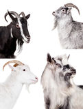 Group of goats on the white Royalty Free Stock Images