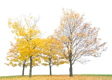 Group of gold autumn maple trees isoalted on white. Background stock images