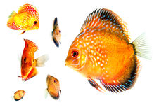 Group of Gold Fish at Different Angles Royalty Free Stock Images