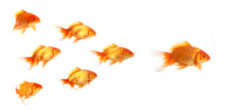 Group of Gold fishes Stock Photography