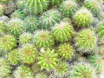 group of Golden ball cactus stock images