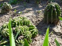 Group of golden ball cactus stock photos