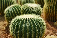 Group of golden ball cactus or Echinopsis cactus plants.  stock photo