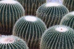 Group of Golden Ball Cactus. Rare and critically endangered cactus stock photos