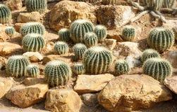 Group of golden barrel cactus Stock Image