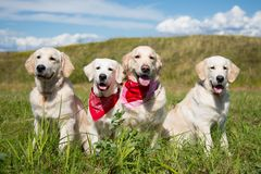 Group of golden retriever dogs posing in the field in sunny day royalty free stock photos