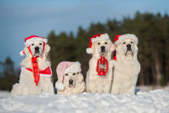 Group of golden retriever dogs posing outdoors in winter Stock Images