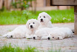 Group of golden retriever puppies resting outdoors Royalty Free Stock Photos