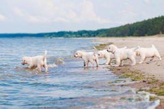 Group of golden retriever puppies at the sea Royalty Free Stock Photos
