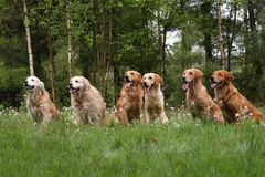 Group of golden retrievers Stock Photos