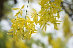 Golden Shower TreeCassia fistula is beauty yellow flower  in summer. A group of Golden Shower TreeCassia fistula are take photo in Khon Kaen, Thailand at summer stock image
