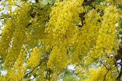 Golden Shower TreeCassia fistula is beauty yellow flower  in summer. A group of Golden Shower TreeCassia fistula are take photo in Khon Kaen, Thailand at summer royalty free stock photo