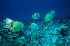 Group of golden spadefish swimming in Derawan, Kalimantan, Indonesia underwater photo Stock Photo