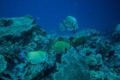 Group of golden spadefish swimming in Derawan, Kalimantan, Indonesia underwater photo Royalty Free Stock Images