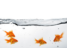 Group of goldfish Stock Images