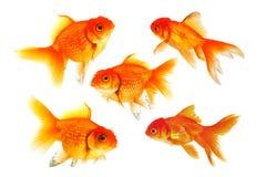 Group of Goldfish Stock Image