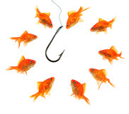 Group of goldfish around empty hook Royalty Free Stock Image
