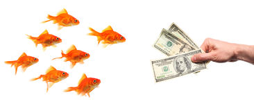 Group of goldfish lured by hand with money. Group of goldfish temptated by hand with money Royalty Free Stock Photography