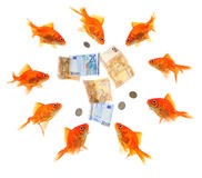Group of goldfish surrounding money. Group of goldfish surrounding euro notes and coins isolated on white Royalty Free Stock Photography