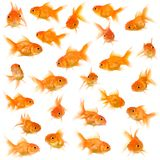 Group of goldfishes. Goldfish in front of a white background Royalty Free Stock Photos