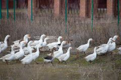 Group goose running in village royalty free stock photography