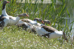 Group of goose walking into the water Stock Photography