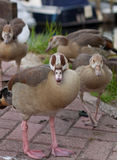 Group gooses Stock Images