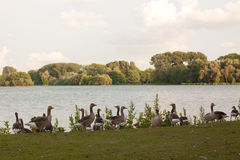 A group gooses Royalty Free Stock Photos