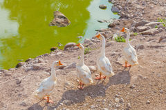 Group of gooses Royalty Free Stock Photo