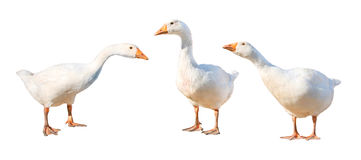 Group of gooses Royalty Free Stock Photos