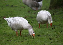Group gooses eating grass Royalty Free Stock Photography