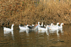 Group of gooses Royalty Free Stock Images