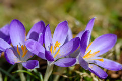 Group with gorgeous purple crocus. Spring is coming Stock Photos