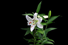 Group of gorgeous white budding and bloomed Christmas lilies Stock Image