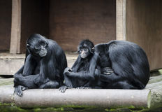 Group of gorillas. A group of gorillas with parents and child Royalty Free Stock Photos