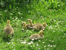 Group of Goslings royalty free stock image
