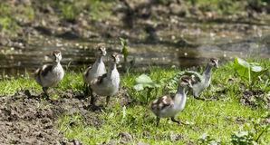 Group of goslings running Royalty Free Stock Photo